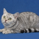 American Short-haired Cat
