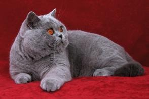 British Shorthair Cat Brit