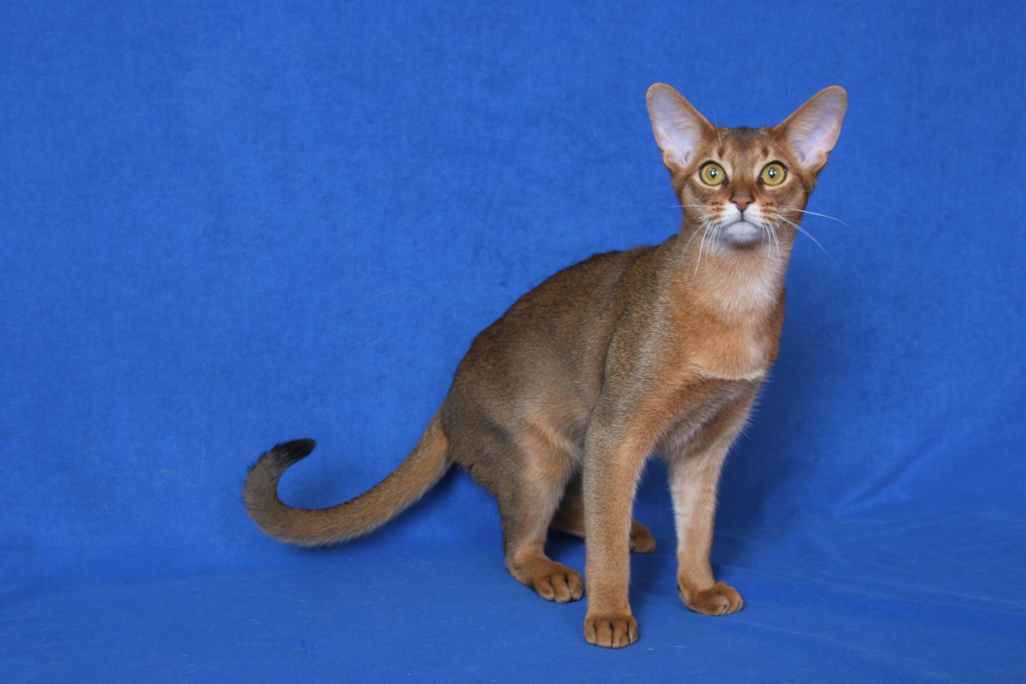 Abyssinian cat – Brit