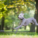 Weimaraner or Shorthaired Pointer