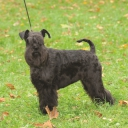 Miniature Schnauzer Pure black
