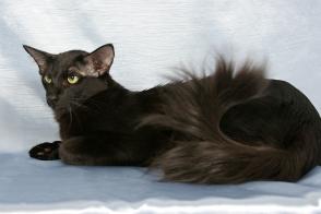 Oriental Long Hair Cat Brit