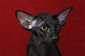 Oriental Shorthair Cat Brit
