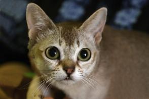 Singapore Cat Brit