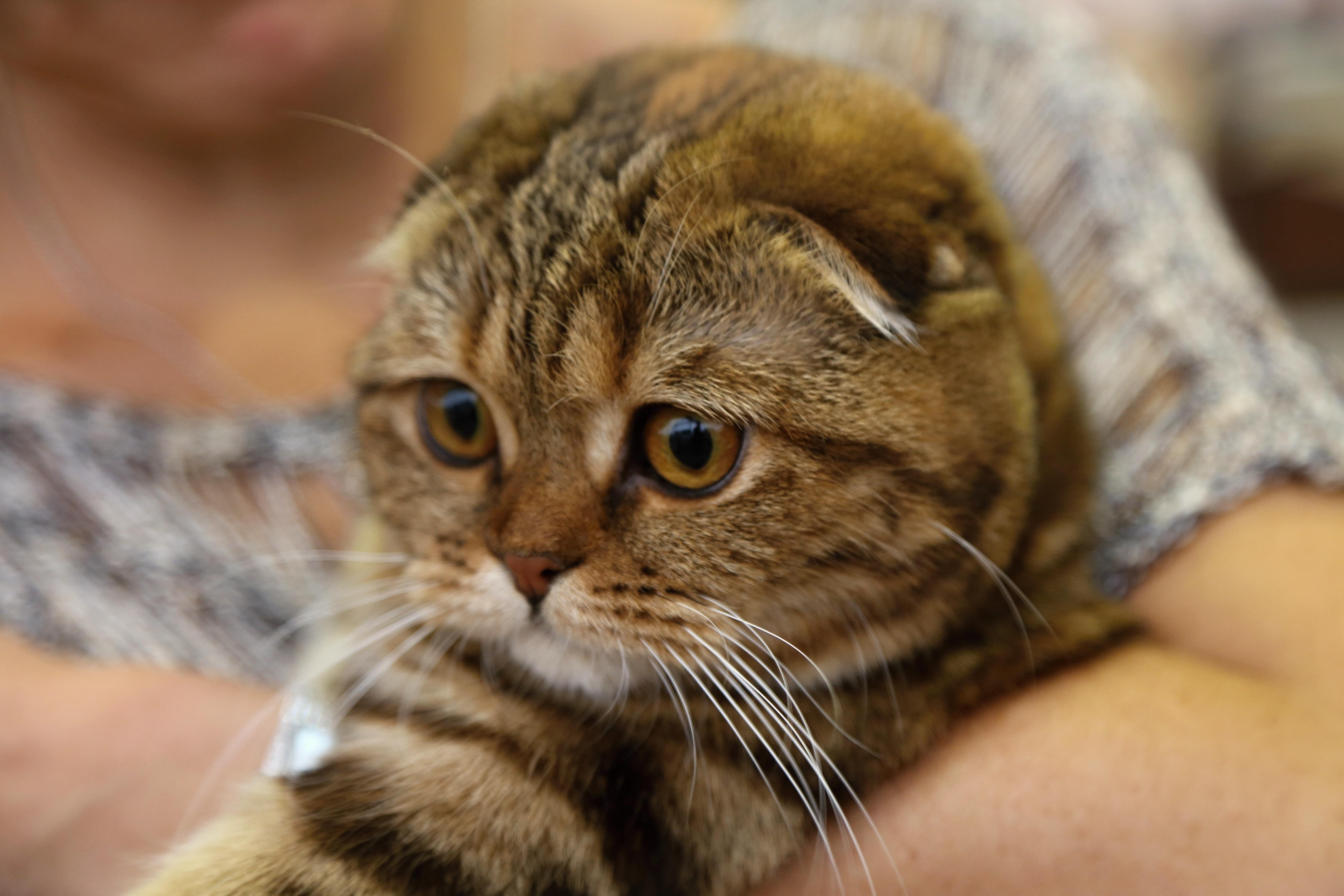 Scottish Fold Cat Brit