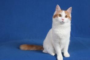 3b8e7ca7895541 Turkish Van Cat – Brit