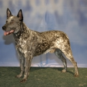 Australian Cattle Dog with a short tail