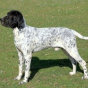 Auvergne Pointer