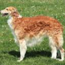 Borzoi - Russian hunting sighthound