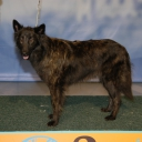 Dutch Shepherd Dogs - long hair