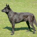 Dutch Shepherd short hair