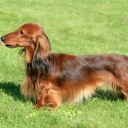 Dachshund Miniature / Rabbit Long haired