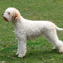 Romagna Water Dog - Lagotto Romagnolo