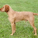 Hungarian Wire-haired Pointer - Vizsla