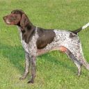German Shorthaired Pointing Dog
