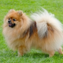German Spitz Toy