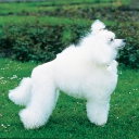 Poodle Miniature White