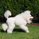 Poodle Medium White