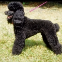Poodle Medium Black