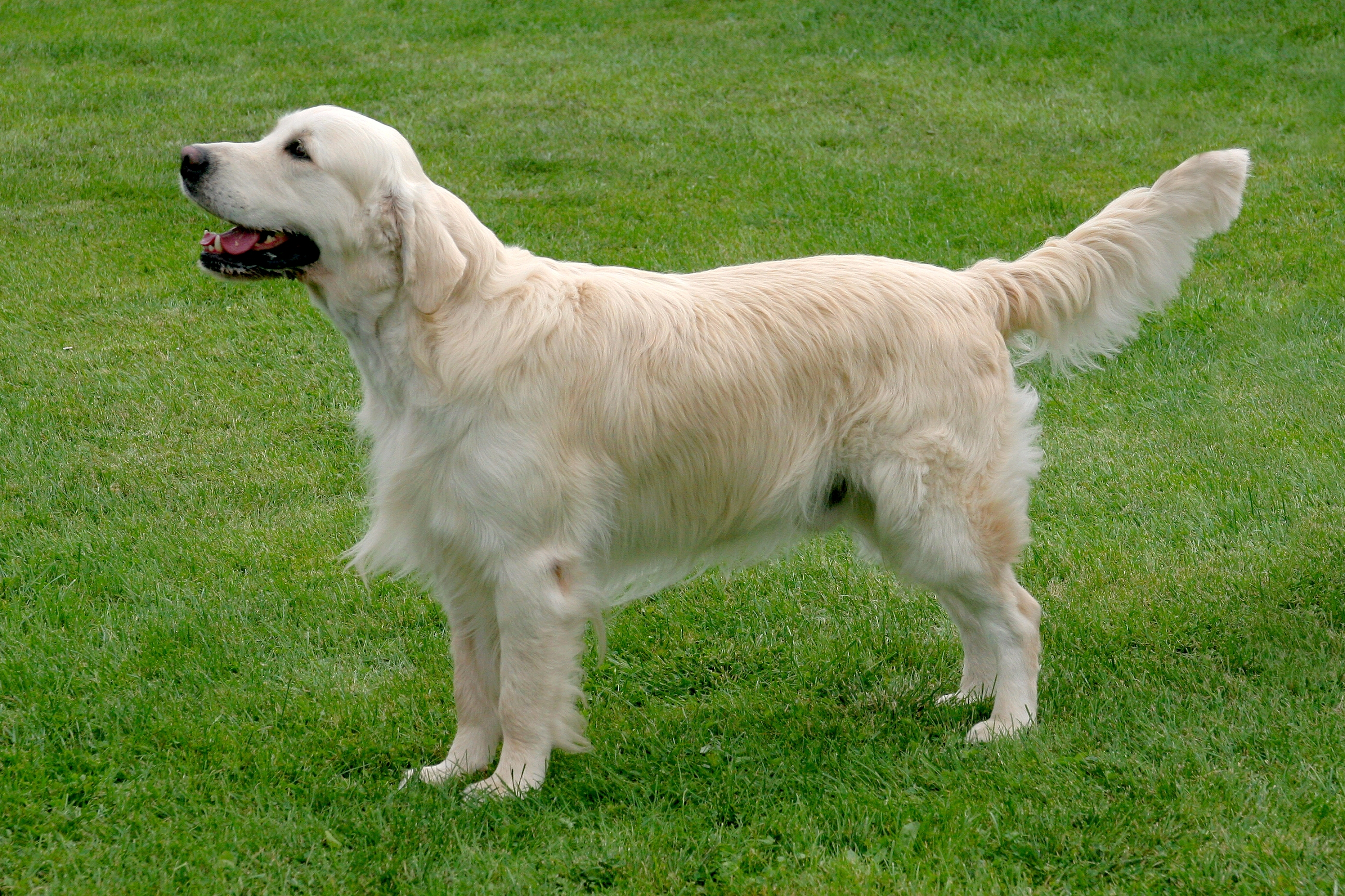 Golden retriever – Brit ca64ab27d57